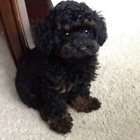 Adorable tiny toy poodle