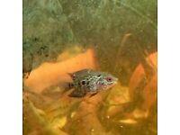 Baby Flowerhorn fish