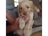 Beautiful f2 Labradoodles for sale