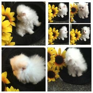 Persian Kittens Available London Ontario image 3