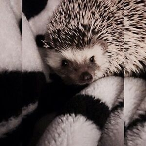 Male hedgehog w/ everything NEED GONE ASAP