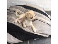 Beautiful chihuahua puppy