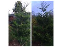 10ft Conifer Tree £30
