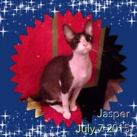 Peterbald kittens haired and hairless don sphynx