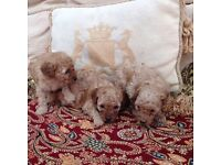 Toy poodle fur babies apricot red