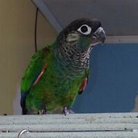 DNA tested male pearly conure