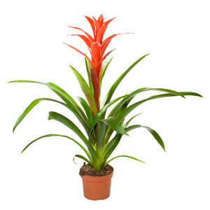 guzmania lingulata en pot 9cm plantes exotiques d 39 int rieur mur v g tal ebay. Black Bedroom Furniture Sets. Home Design Ideas
