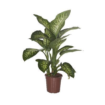 Indoor Plant – Dieffenbachia Seguine Tropic Snow – Height: 80 cm