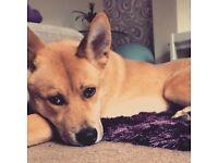 Husky X Akita Puppy
