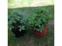 Astrantia Garden Plants