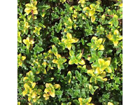 5 x9 cm Pots | Goldstream CreepingThyme Aromatic Herb | Low Maintenance Floral Carpet
