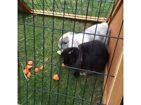 2 Netherlands Dwarf rabbits approx 9 months old