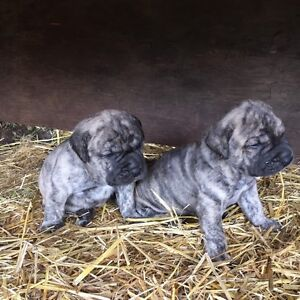 English Mastiff/Fila Mastiff Cross puppies for sale