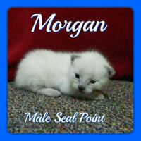Plus que 3 chatons Siamois Seal point Disponible !!!