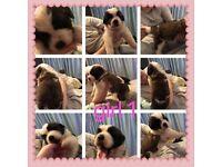 Saint Bernard pups available soon Milton Keynes