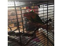 Male and female lovebirds 9 months old