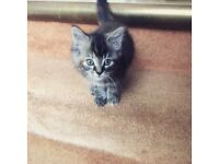 Tabby/Maine Coon Cross Kitten
