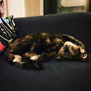 Friendly Young Female Cat needing a New Home Alexandria Inner Sydney Preview