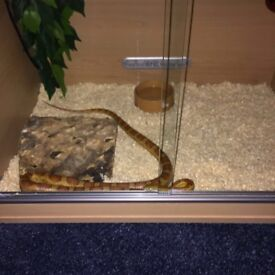 Corn snake with viv