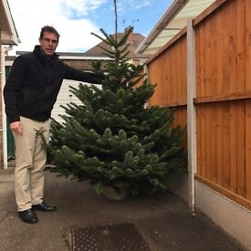 Real deluxe premium quality nordmann fir Christmas trees
