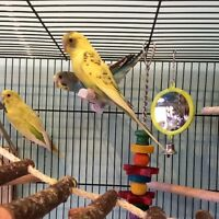 Baby Budgies.  Lots of Colors