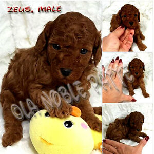 TOP QUALITY TOY POODLE PUPPIES