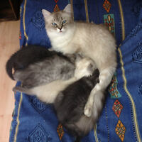 Himalayan Kittens 3 & 8 months old Longueuil / South Shore Greater Montréal Preview
