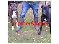 Alaunt mastiff bull greyhound pups for sale