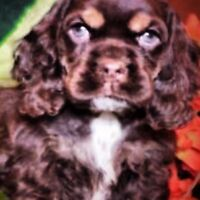 Stunning AKC American Cocker Spaniel Puppies