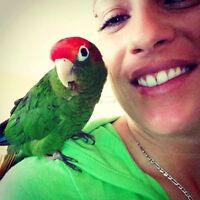Rose Crowned Conure ~Keenu needs a forever home!!