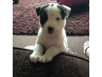 11 week old Japanese Akita x American bulldog £250