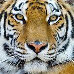 Comics Tiger