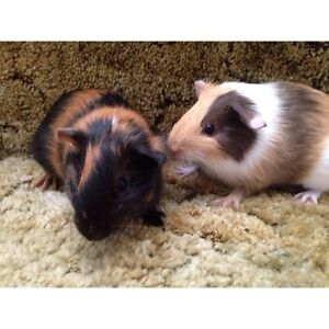 Guinea pigs for sale to good home!