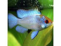 Ram Cichlids (electric blue )
