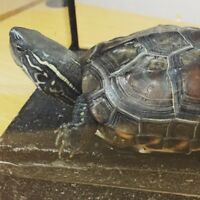 Chinese Turtle - Not A Red-Earred Slider