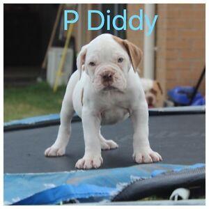 Pedigree American Bulldog puppies Newcastle Newcastle Area Preview