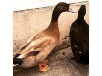 Khaki Campbell & Kahki Campbell cross ducks for new home