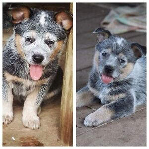 Pure Blue heeler puppy- female Capalaba Brisbane South East Preview