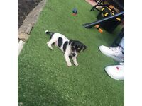 Jack Russell male for sale