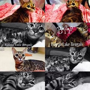 Top Quality TICA Registered Bengal female available