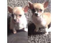 2 Beautiful Chihuahua Female Pups