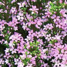 Pink Diosma Cranbourne Casey Area Preview