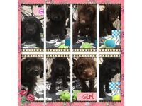 Choclate and black cockapoo f1 par clear