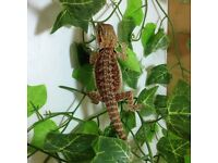 Baby bearded dragons £20 or 2 for £30 bargain urgent