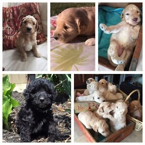 GOLDENDOODLE gold females 35 lbs  hypo/no shed