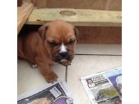 Old Tyme bulldog X dog de Bordeaux