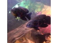 2 tiger oscars and 2 feather fin catfish
