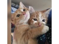 2 Ginger/White Male Cats For sale with all the equipments required