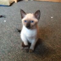 Two Siamese Kittens Available