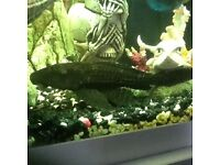 Plec tropical fish